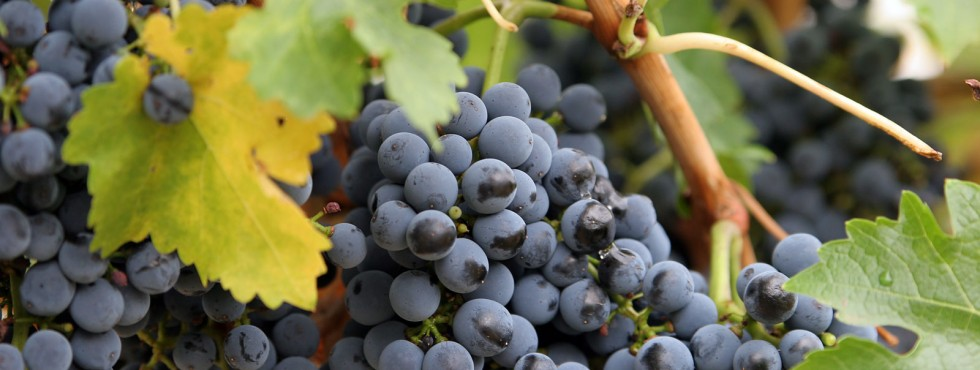 Close_up_grapes