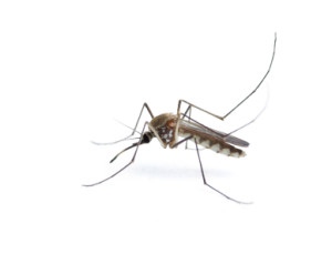 Insect Mosquito