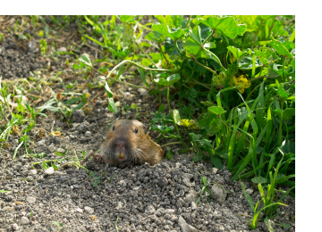 How To Prevent Gophers In Your Garden Garden Ftempo
