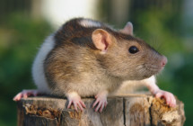 iStock_rat_on_log